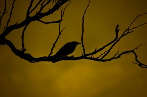 931853_crow_sillhouette