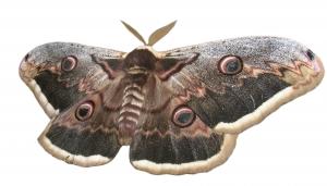 silk-moth-1440670-m
